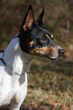 Hogan, 6 year old champion Rat Terrier.  http://facebook.com/vendageratterriers  http://vendageratters.com/
