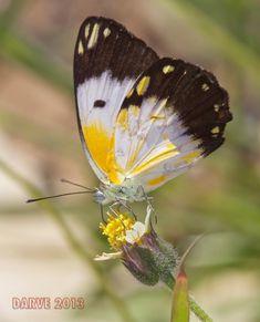hembra, female