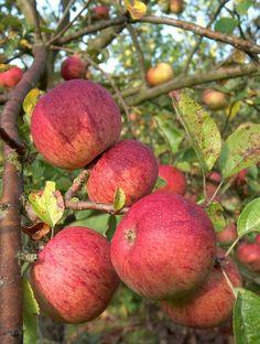 Cider Apples -  Apple Dabinett