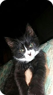 Parker Ford, PA - Domestic Shorthair. Meet Trouble, a kitten for adoption. http://www.adoptapet.com/pet/18256243-parker-ford-pennsylvania-kitten