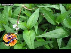 Herbal and Herb: Cách chữa bệnh đau bao tử bằng cây rau răm - Cây Thuốc Quý
