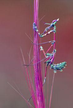 Exquisitely coloured mantis