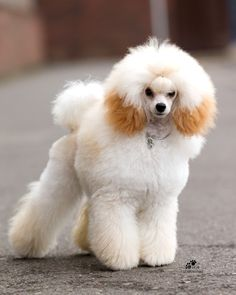 toy poodle | strany snegov best puppy bitch british toy poodle and crufts