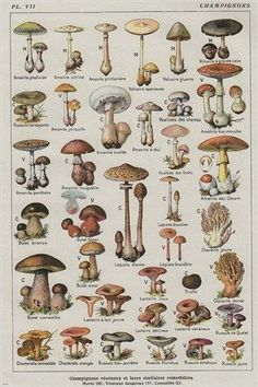 VINTAGE FRENCH MUSHROOM CHART poster COLLECTORS exotic specialty 24X36