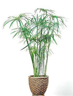 Cyperus involucratus/isosädekaisla