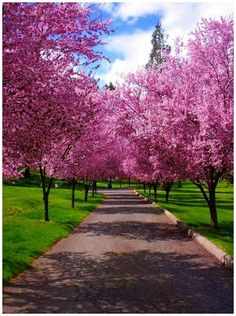Path of Spring. Pink Flowers and Green Ground.