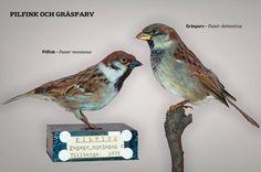 <b>Kan du skilja på Sveriges vanligaste fåglar? </b>SvD hjälper dig att se skillnad på 16 vanliga vinterfåglar – bläddra dig fram mellan bilderna. Först ut: de så ofta förväxlade pilfink och gråsparv. <br /> <b>Pilfinken </b>har brun hjässa och svart kindlapp. På många håll i världen ansedd som skadedjur. Uppträder ofta tillsammans med gråsparv som den kan få ungar med.<br /> <b>Gråsparven</b> har grå hjässa och mörkbrun nacke. Något större än sin kompis. Förknippades i gammal folktro med…