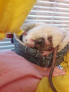 """NO my cheerio!"" #aww #cute #rat #cuterats #ratsofpinterest #cuddle #fluffy #animals #pets #bestfriend #ittssofluffy #boopthesnoot"