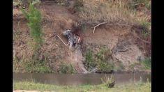 Unseen Crocodile dives! Nile Crocodile plunges 10+ meters into the Sabie...