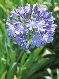 Agapanthus praecox subsp.orientalis - blue lily
