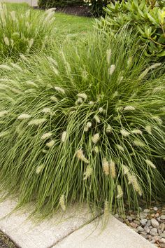 Dwarf Fountain Grass (Pennisetum alopecuroides 'Hameln') Attractive grass highlighted by fluffy, buff-colored plumes arching above foliage. Terrific contrast used among shrub or backdrop for perennial bed. Foliage turns golden russet in fall.