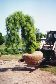Weeping White Pine