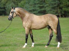 Buckskin show pony Funny Horses, Cute Horses, Pretty Horses, Horse Love, Warmblood Horses, Dressage Horses, Pony Breeds, Horse Breeds, Beautiful Horse Pictures