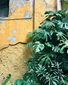 Time & Nature // #naturedoesitbest #patina #time #philodendron #italy #italia #alleyway #dslooking #seedscolor #foliage #leafy #green #jungalowstyle #gardendreams #wanderlust #travel #travelitaly