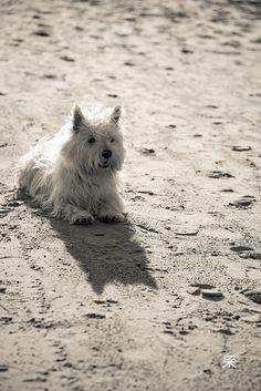 Beach westie
