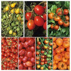 unterst tz die tomate werde tomatenretter. Black Bedroom Furniture Sets. Home Design Ideas