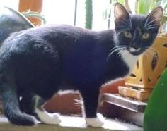Gladys is an adoptable Cat - Domestic Short Hair searching for a forever family near Raleigh, NC. Use Petfinder to find adoptable pets in your area.