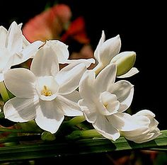 NARCISI BIANCHI bis -White Narcissus....