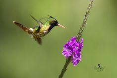 Resultado de imagem para black crested coquette hummingbird
