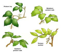 Poison ivy   Leaves of three, leave them be,  berries of white, take a fright