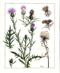 "Thistle, by Sound of Wings studio on etsy, 11"" x 14"" Archival Art Print [thistle, Cirsium vulgare(?), Asteraceae]"