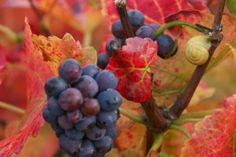 Couleurs automnales - Photographies Patrick Jassiones Champagne, Vineyard, Wine, Landscape, Photographs, Landscapes, Colors, Vine Yard, Vineyard Vines