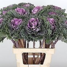 Brassica Katya, also known as ornamental cabbage is a Green/Purple cut flower. 2018 Wedding Trend: Ultra Violet Purple. For lilac and purple wedding flowers to suit your colour scheme, visit our website at www.trianglenursery.co.uk/fresh-flowers!