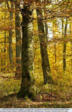 Buche im herbstlichem Buchenwald (Fagus sylvatica) Nationalpark Kellerwald-Edersee, Nordhessen, Hessen, Deutschland, Europa