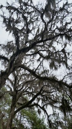 Spanish moss makes me moody...