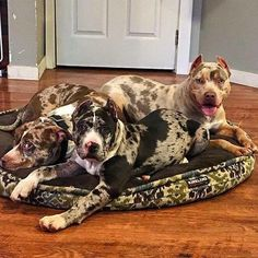 Pit Bull Puppies OMG crazy colors for the breed. Must be an interesting mix - Amstaff Terrier, Pitbull Terrier, Dogs Pitbull, Merle Pitbull, Pitbull Mix Breeds, Rare Dog Breeds, Cute Puppies, Cute Dogs, Dogs And Puppies