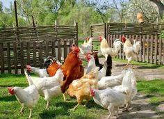 Pretty chickens