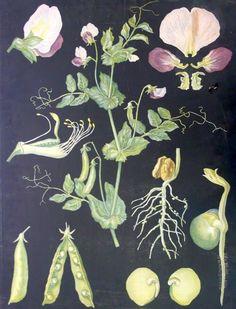 Opetustaulu, peltoherne (Ebba Masalin) Botanical Drawings, Botanical Illustration, Botanical Prints, Illustration Art, Nature Journal, My Secret Garden, Illustrations, Graphic Design Posters, Pictures To Paint