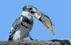 Pied kingfishers plunge-dive in waters throughout Africa. This birds dine exclusively on fish. Port Elizabeth, South Africa