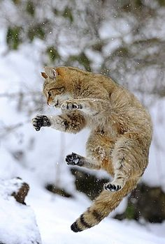 Mews: Ardnamurchan scottish wildcat 'safe haven' set up - Katzenworld Old Cats, Cats And Kittens, Cats Bus, Jumping Cat, Cute Cats, I Love Cats, Small Wild Cats, Lynx, Cat Reference