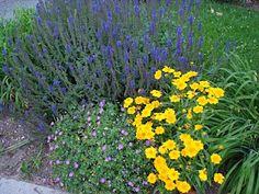 May Night Salvia (dark bluish-purple in color)