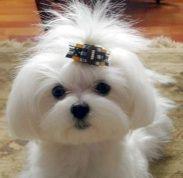 Maltese Dog Abbey- Maltese teddybear cut - Page 3 - Maltese Dogs Forum : Spoiled Maltese Forums Teacup Puppies, Cute Puppies, Cute Dogs, Dogs And Puppies, Teacup Maltese, Doggies, Kyi Leo, Perro Shih Tzu, Animals And Pets