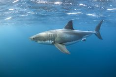 Great White Shark by Alastair Pollock