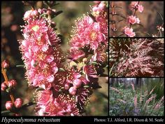 Hypocalymma robustum (Swan River Myrtle) Size Colour pink Flowers July – October Best seasons Spring, Winter Description Small multi stemmed shrub to pink/purple flowers July to October. Blue Merle, I Love Dogs, Cute Dogs, Husky, African Plants, Aussie Dogs, All Plants, Garden Plants, Best Seasons