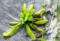 Beach plants at Ocean Shores