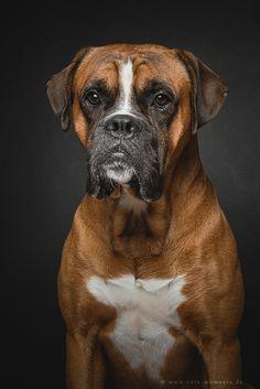 BOXER PORTRAIT - German Boxer Lincoln Foto: Jessica Lipki - www.cute-moments.de