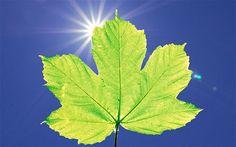 Cómo cosechar energía directamente de las plantas Investigadores de la Universidad de Georgia están desarrollando una novedosa tecnología que permite utilizar plantas para generar directamente electricidad capturando el flujo de electrones de la fotosíntesis. Este nuevo enfoque puede llegar algún día a transformar todo el sistema captación de energía solar empleando sistemas idénticos a los utilizados por los vegetales para aprovechar la luz.