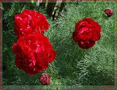 Fern-leafed Peony outdoors-gardening