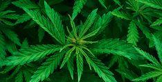 Cannabis wird die größte  Erfolgsstory des 21. Jahrhunderts - Toni Straka im Interview - Mit 13 rauchte er seinen ersten Joint. 35 Jahre später wurde er wegen des Imports von medizinischem Cannabis, zu einer Zeit, als dies noch ein Fremdwo... Medical Cannabis, Cannabis Oil, Cannabis Plant, Growing Weed Indoors, Interview, Splendour In The Grass, Buy Weed Online, Rock Online, Cancer Cure