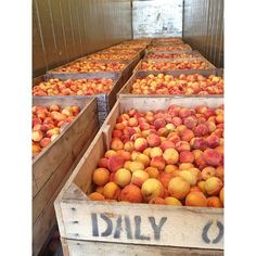 27,000 pounds of Red Haven Peaches just arrived from Joe Daly's farm down in Hart, MI.