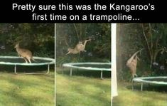 34 Funny Pictures Of The Day - Funny Pictures - Daily LOL Pics - Kangaroo, Trampoline, Jumping, This is Trampolining: Pretty sure this was the Kangaroo's first ti - Funny Animal Memes, Funny Animal Pictures, Cute Funny Animals, Stupid Funny Memes, Funny Cute, Hilarious, Funny Stuff, Funny Pics, Funny Tweets