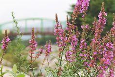 summer flower in korea