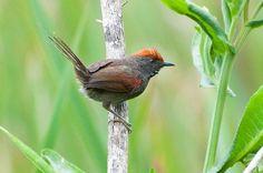 Foto joão-teneném (Synallaxis spixi) por Ivan Angelo   Wiki Aves - A Enciclopédia das Aves do Brasil