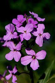 Violet aftenstjerne / natviol. Til skyggebedet.