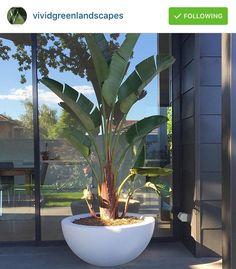 strelitzia nicolai great feature pot plants no good in ground