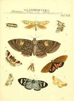 Illustrations of Lepidoptera taken from 'Genera Insectorum Linnaei et Fabricii' by J. J. Römer. Published 1789.